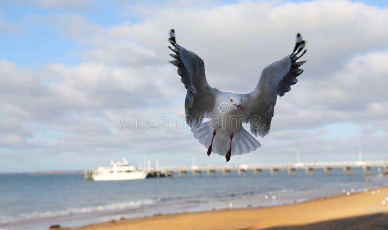 Aterrizaje de la gaviota imagenes de archivo