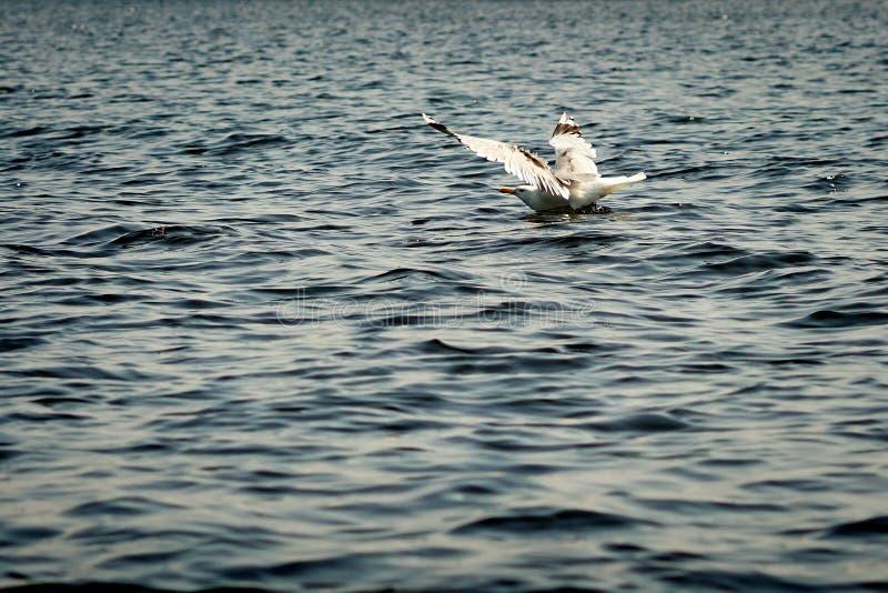 Aterrizaje de la gaviota en el agua imagenes de archivo