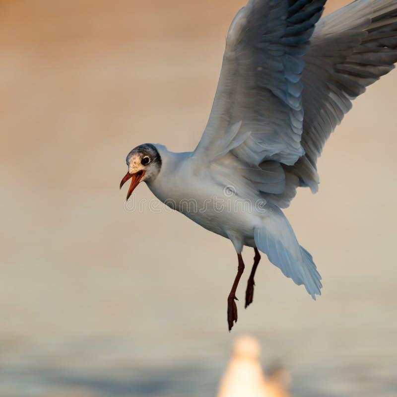 Aterrizaje de la gaviota en el lago iluminado por el sol fotografía de archivo