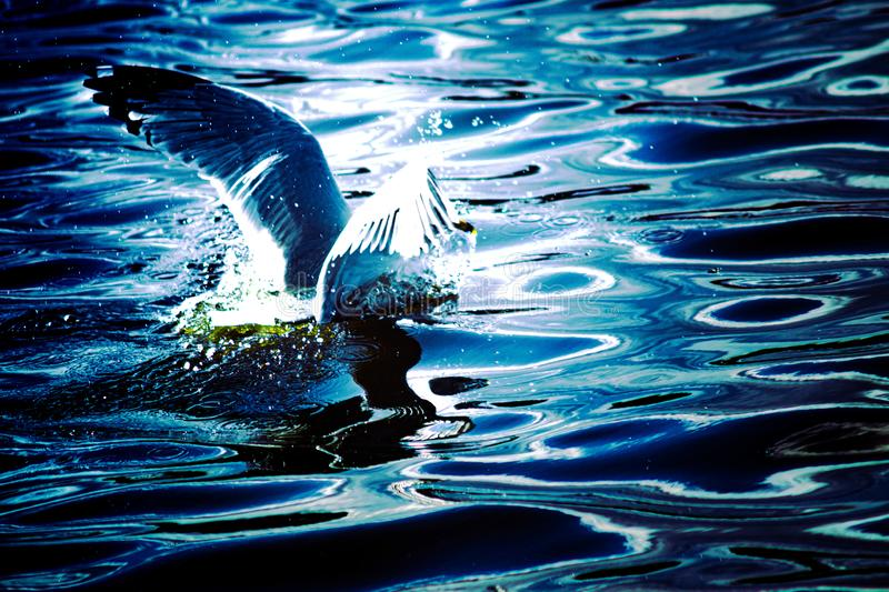 Aterrizaje de la gaviota en el lago fotos de archivo