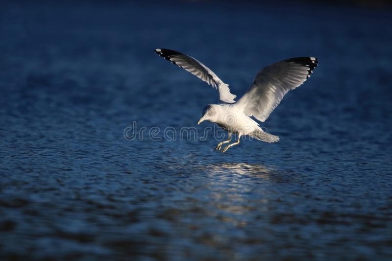 Aterrizaje de la gaviota en un lago winter fotos de archivo libres de regalías