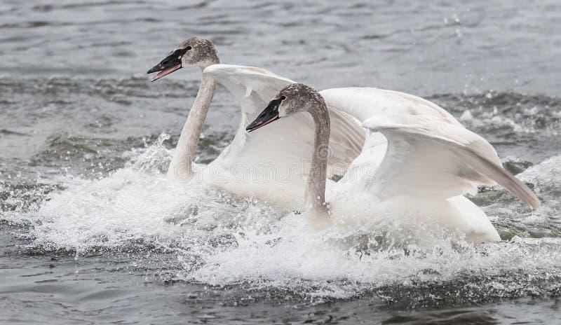Aterrizaje del dúo del cisne del trompetista (Cygnus buccinador) foto de archivo