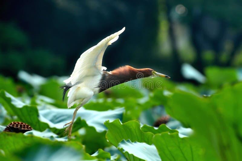 Aterrizaje del pájaro del egret del vuelo fotografía de archivo