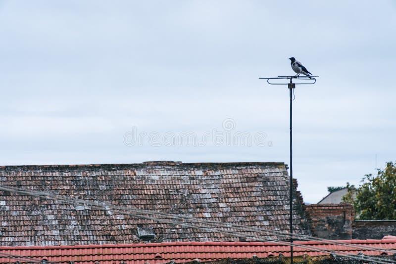Aterrizaje del pájaro en la antena de TV residencial Esta clase de actividad es típica por las tardes donde los pájaros les gusta imagen de archivo libre de regalías