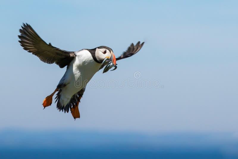 Aterrizaje que sopla con un bocado de pescados fotografía de archivo libre de regalías