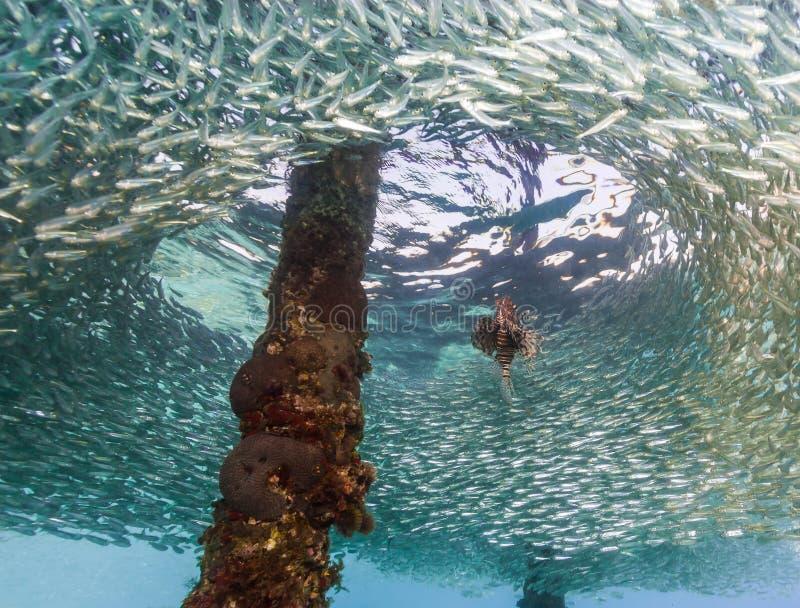 Athérines simples de chasse de Lionfish sous une jetée fabriquée par l'homme photographie stock