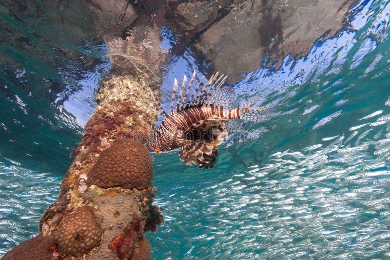 Athérines simples de chasse de Lionfish sous une jetée fabriquée par l'homme image libre de droits