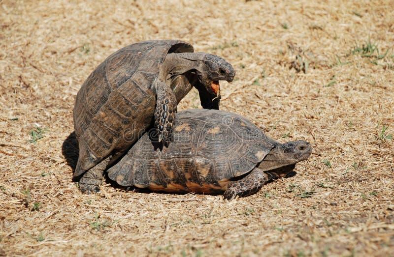 Download Ath中心夫妇喜爱做乌龟 库存图片. 图片 包括有 爬行动物, 特写镜头, 雅典, 背包徒步旅行者, 墙纸 - 3657151