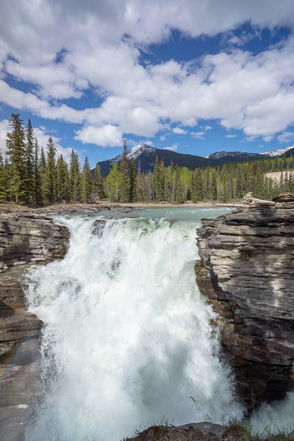 Athabasca cai no jaspe fotografia de stock