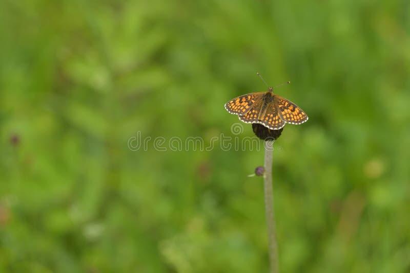 Athalia di Melitaea della fritillaria della brughiera immagine stock