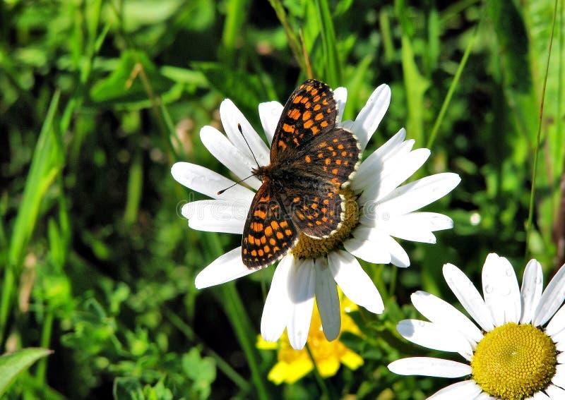 Athalia melitaea бабочки стоковое фото