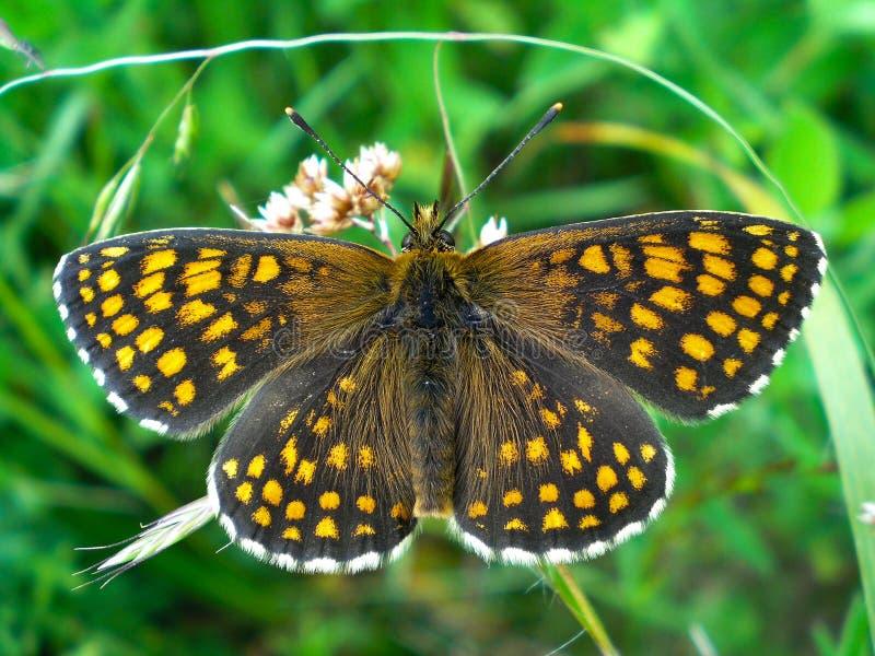 Athalia melitaea бабочки стоковые фотографии rf