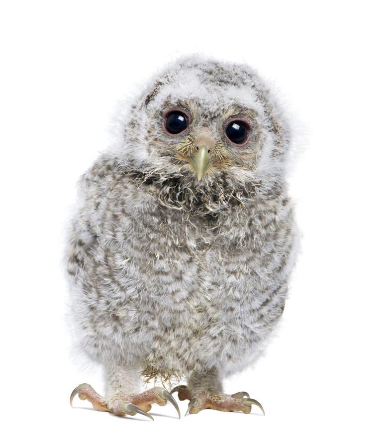 athe kamery frontowy przyglądający owlet widok obraz stock