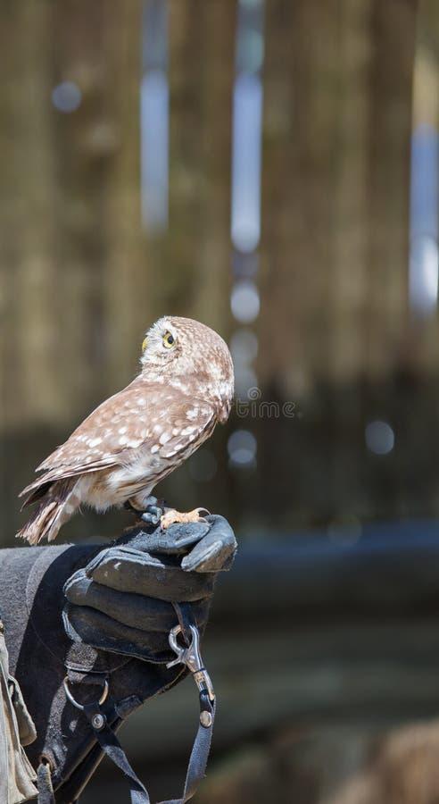 Athene noctua-Owl. On the falconer`s glove royalty free stock photo