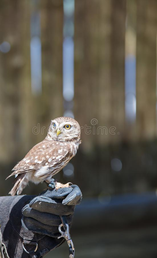 Athene noctua-Owl. On the falconer`s glove royalty free stock photography