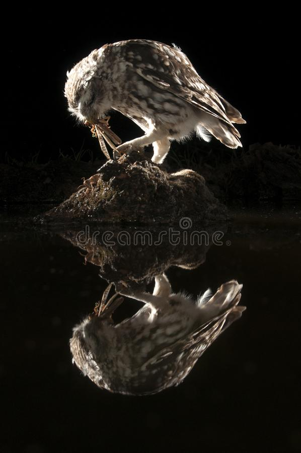 Athene noctua owl, Little Owl perched on a rock at night,eating a grasshopper, insect. Athene noctua owl, Little Owl perched on a rock at night, with reflection stock image