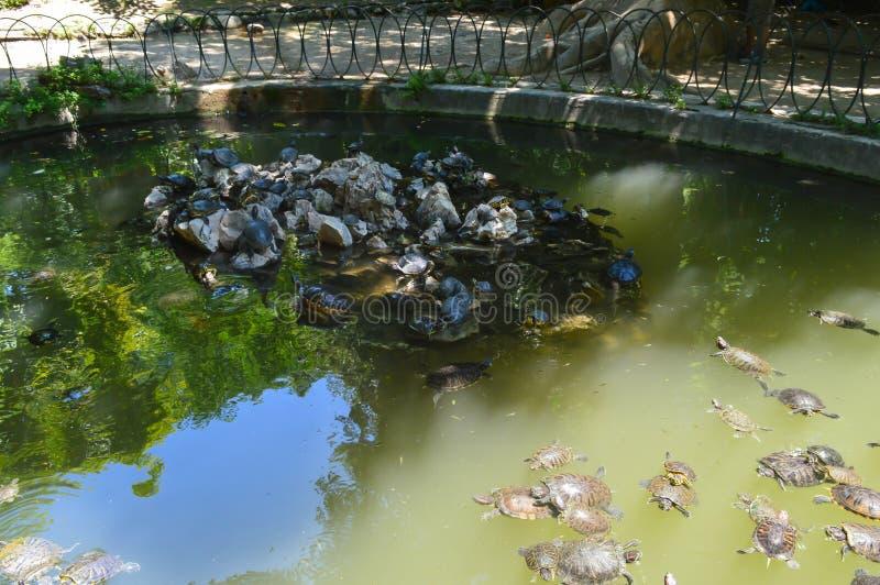 Tortoises in National Garden in Athens, Greece on June 23, 2017. ATHENS, GREECE - JUNE 23: Tortoises in National Garden in Athens, Greece on June 23, 2017 stock photos