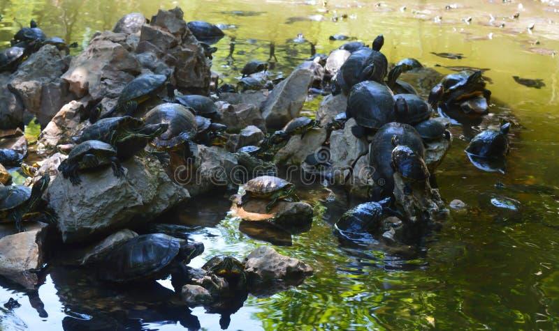 Tortoises in National Garden in Athens, Greece on June 23, 2017. ATHENS, GREECE - JUNE 23: Tortoises in National Garden in Athens, Greece on June 23, 2017 stock images