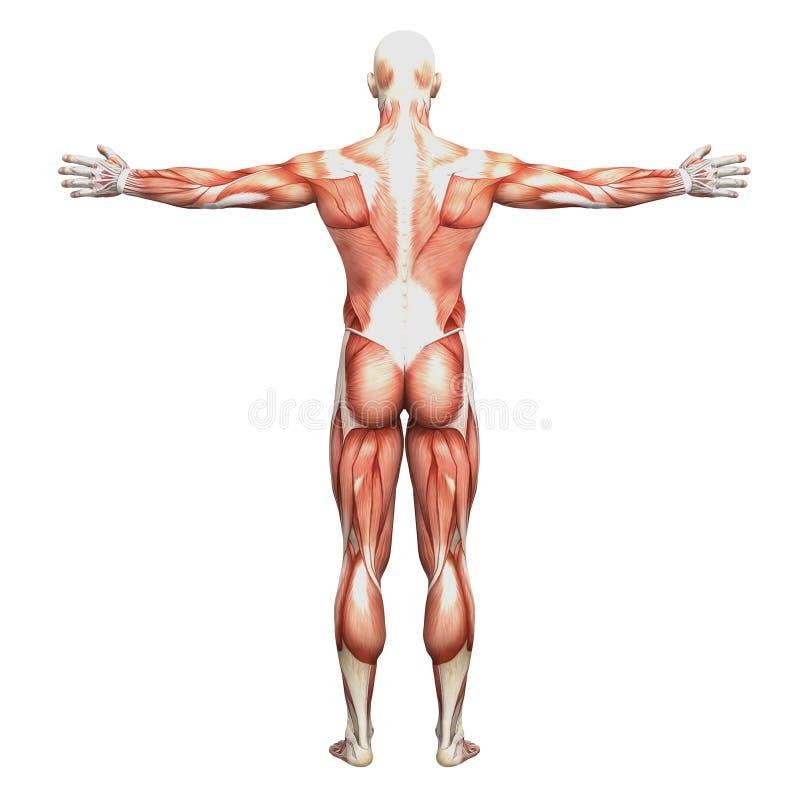 Athletische Männliche Menschliche Anatomie Und Muskeln Stock ...
