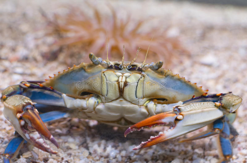 Atlantic Blue Crab Front royalty free stock photos