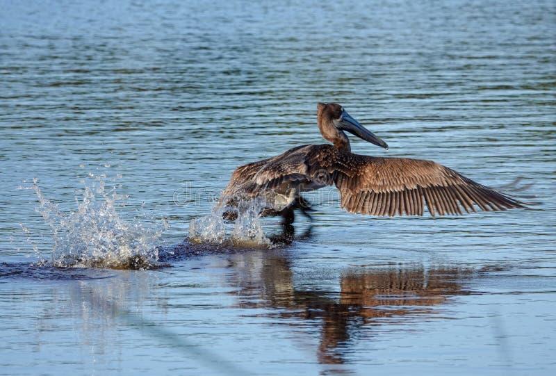 Atlantic Brown Pelican Pelecanus occidentalis on Take Off royalty free stock image
