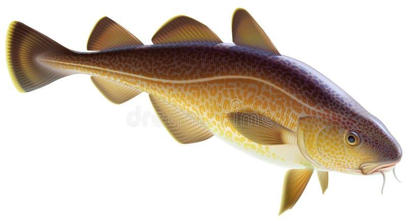 Atlantic cod. Editable vector illustration isolated on white background stock illustration