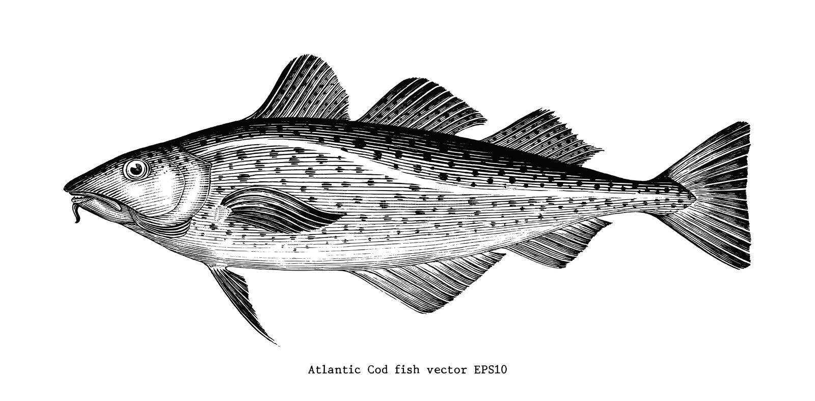 Atlantic Cod fish hand drawing vintage engraving illustration. Isolated on white background stock illustration