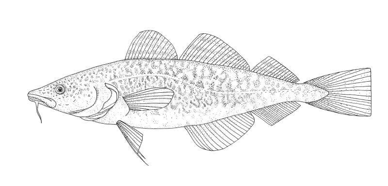 Atlantic cod. Hand drawn black image. Atlantic cod. Realistic hand drawing black and white isolated illustration vector illustration