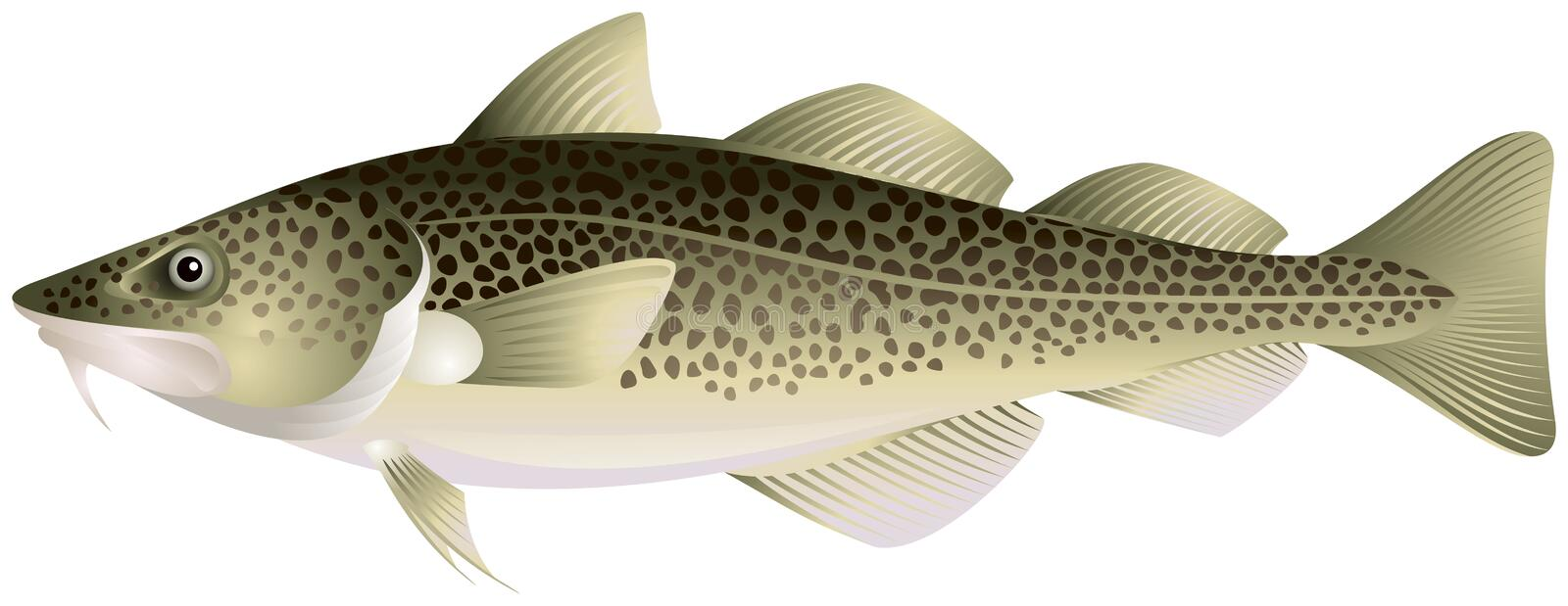 Atlantic cod. Popular food fish realistic vector illustration royalty free illustration