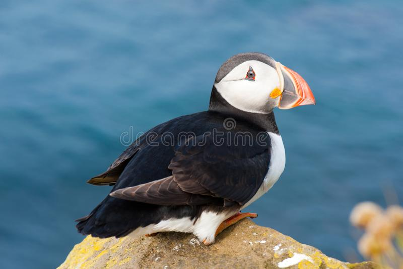 Atlantic or common puffin sitting on a cliff in Iceland. Atlantic or common puffin sitting on the rock in Iceland stock photos