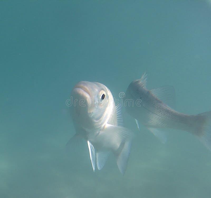 Atlantic Fish stock photography