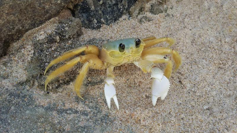 Atlantic ghost crab Ocypode quadrata in the sand stock images