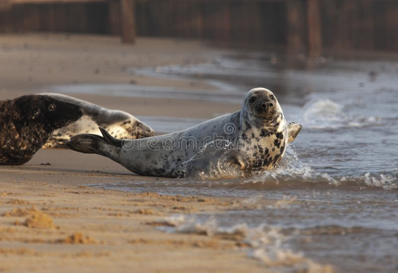 Atlantic grey seal on the beach royalty free stock photo