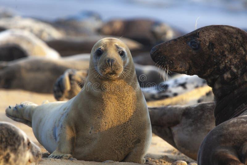 Atlantic grey seal on the beach royalty free stock photo