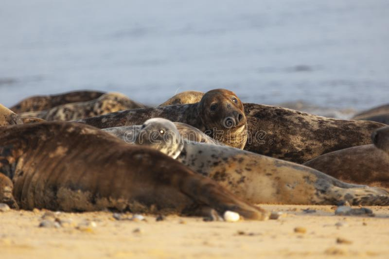 Atlantic grey seal on the beach royalty free stock images