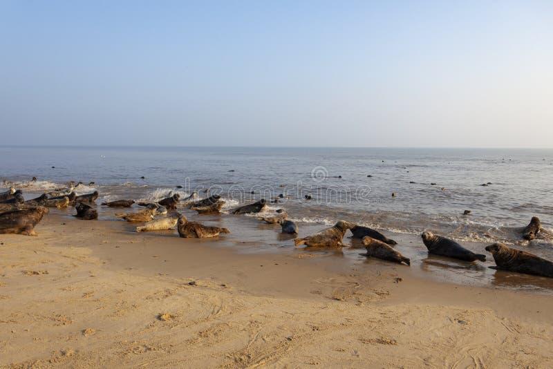 Atlantic grey seal on the beach stock photography