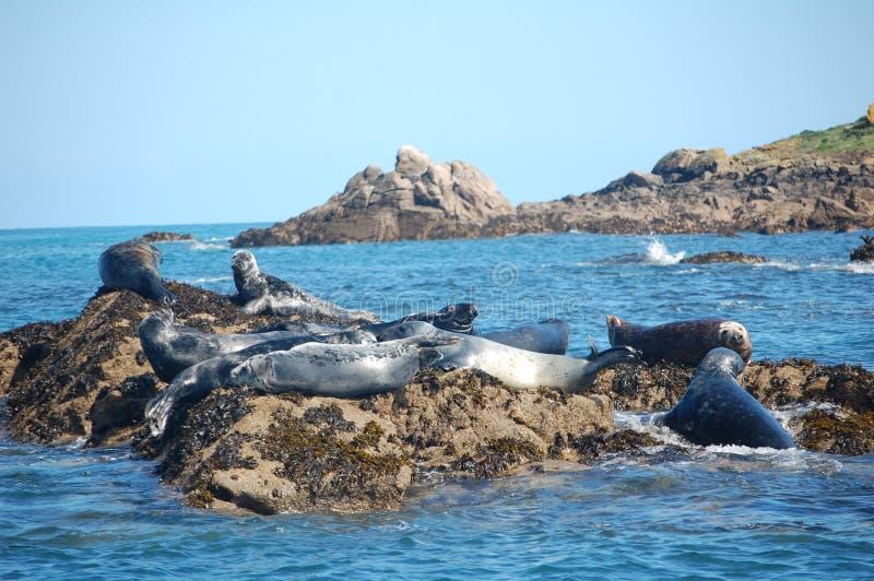Atlantic grey seal group stock photo