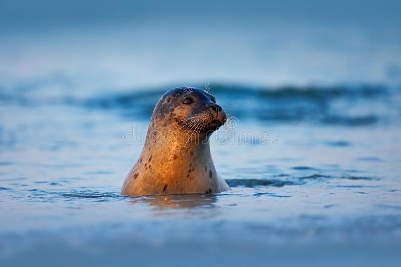 Atlantic Grey Seal, Halichoerus grypus, portrait in the dark blue water wit morning sun, animal swimming in the ocean waves, Helgo royalty free stock images