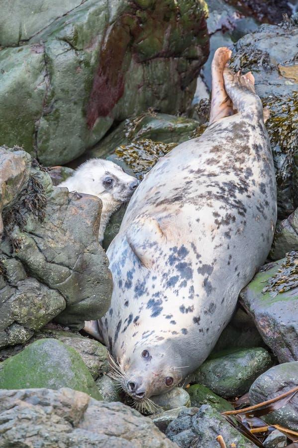 Atlantic grey seal mother and pup stock photos