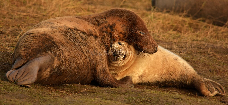 Atlantic grey seal mother and pup cuddling royalty free stock photos