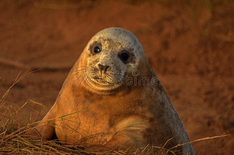 Atlantic grey seal pup with mournful eyes stock photos