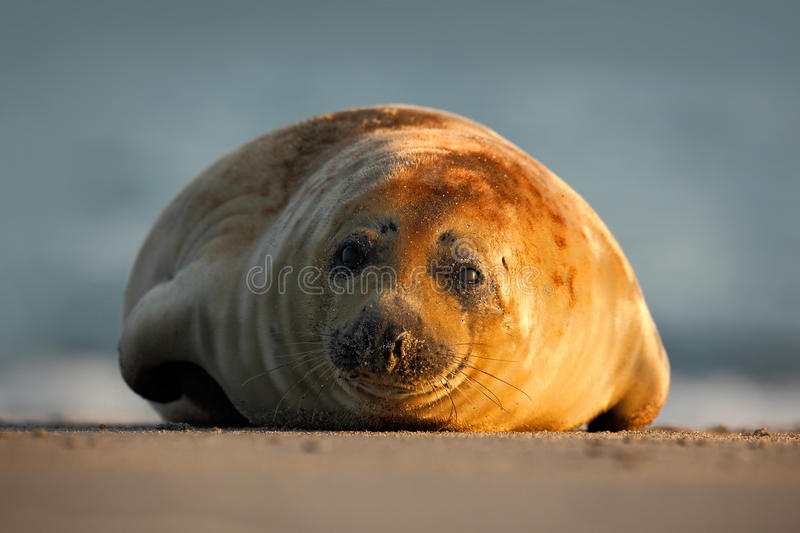 Atlantic Grey Seal, on the sand beach, sea in the background, Helgoland island, Germany stock photo