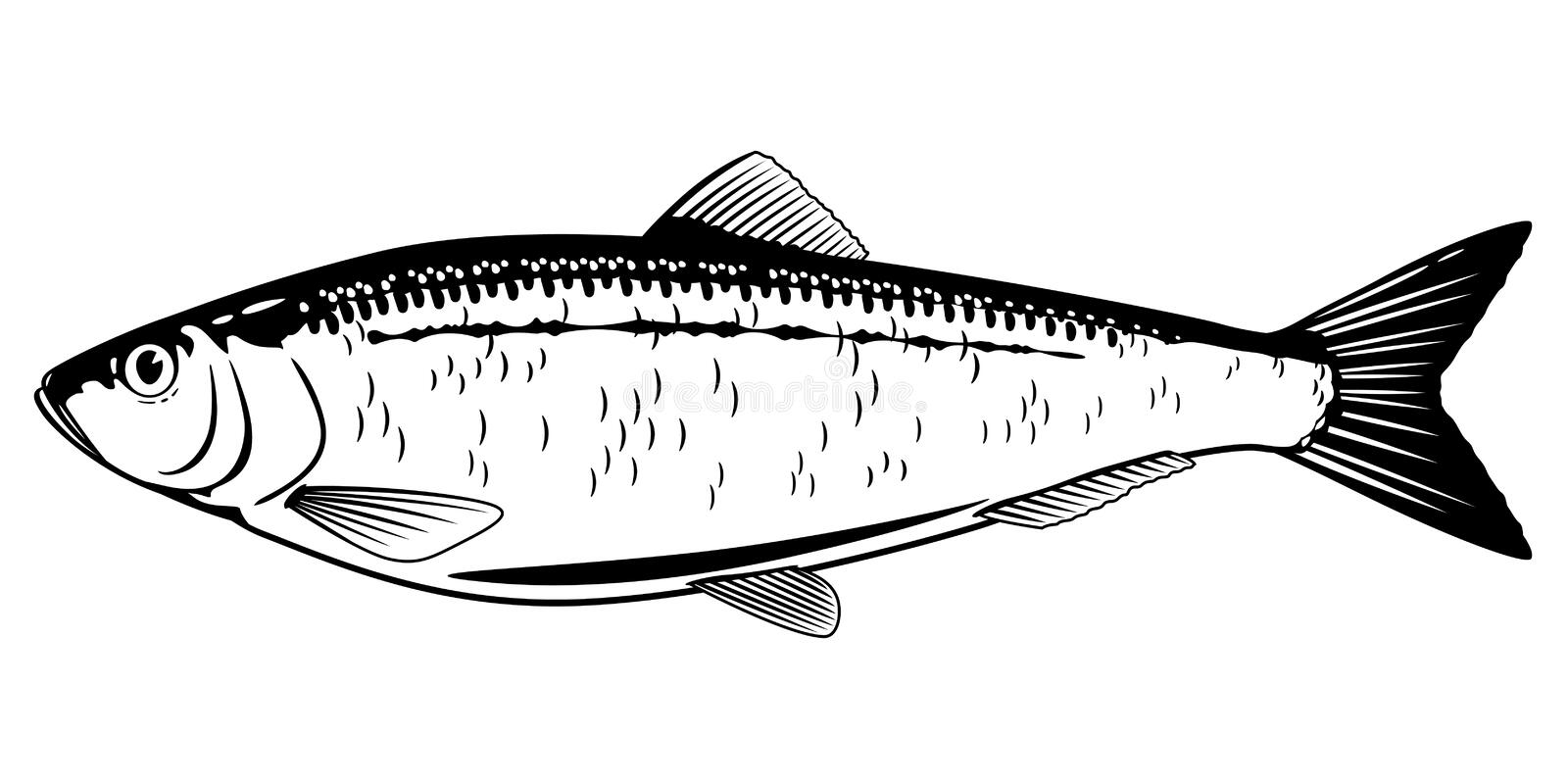 Atlantic Herring Black and White Fish. One Atlantic herring fish from one side in black and white color, isolated royalty free illustration