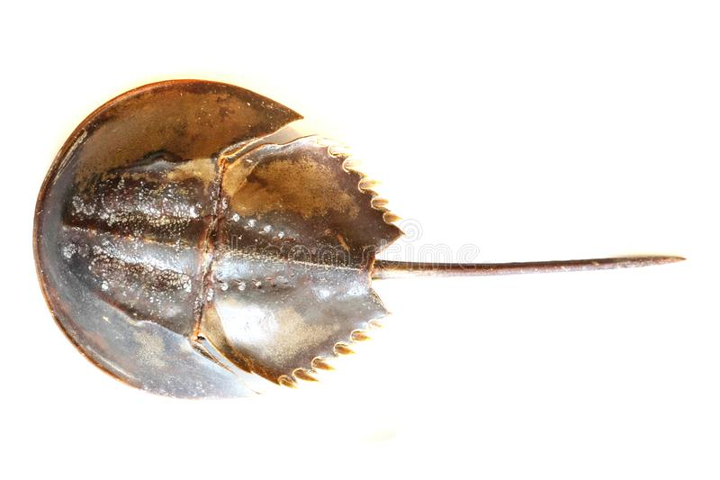Atlantic horseshoe crab royalty free stock photo