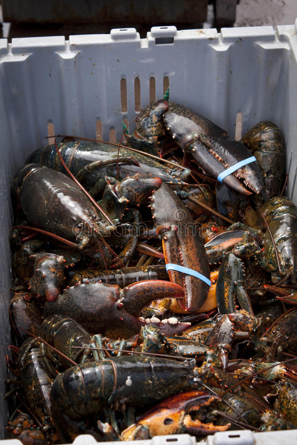 Atlantic Lobster stock image