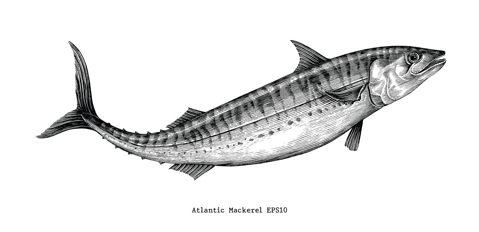 Atlantic mackerel hand drawing vintage style. Isolated on white background vector illustration