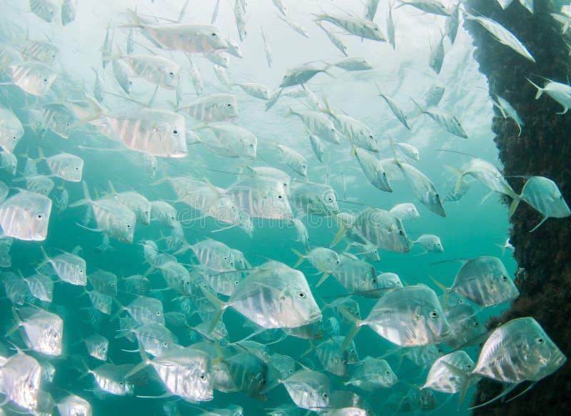 Atlantic Ocean Species of Fish royalty free stock photos