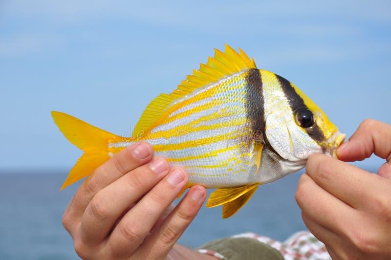 Download Atlantic porkfish stock image. Image of angler, fishing - 17376721