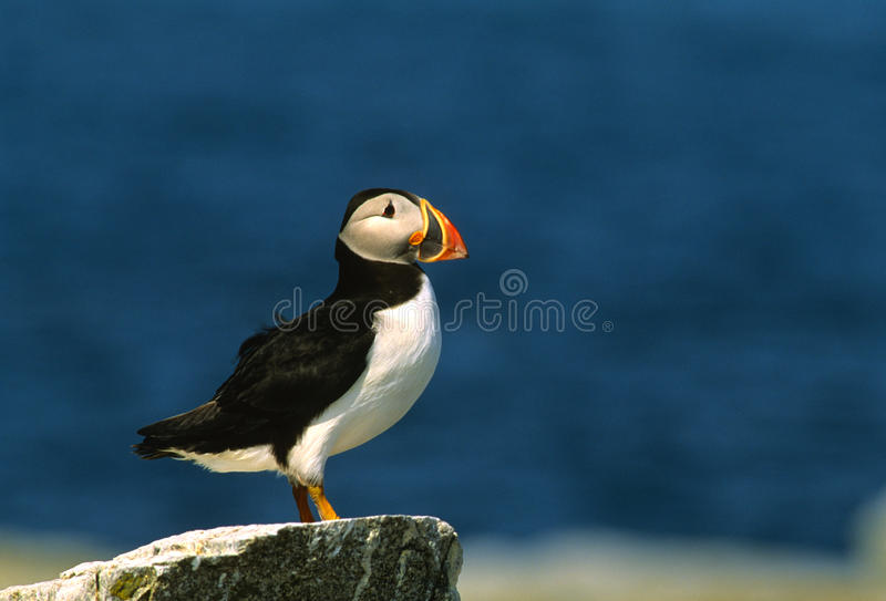 Atlantic Puffin. An atlantic puffin standing on a rock with dark blue sea in background royalty free stock images
