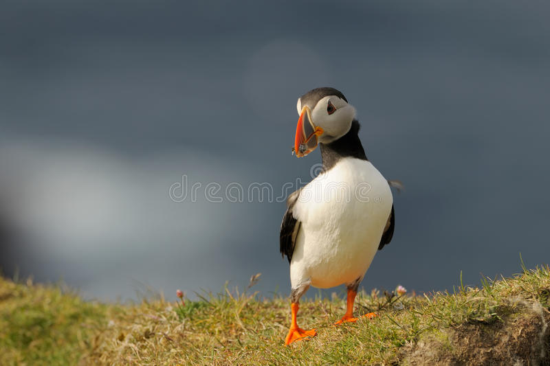 Atlantic puffin. (Fratercula arctica) standing in grass on a cliff with fish in beak stock image